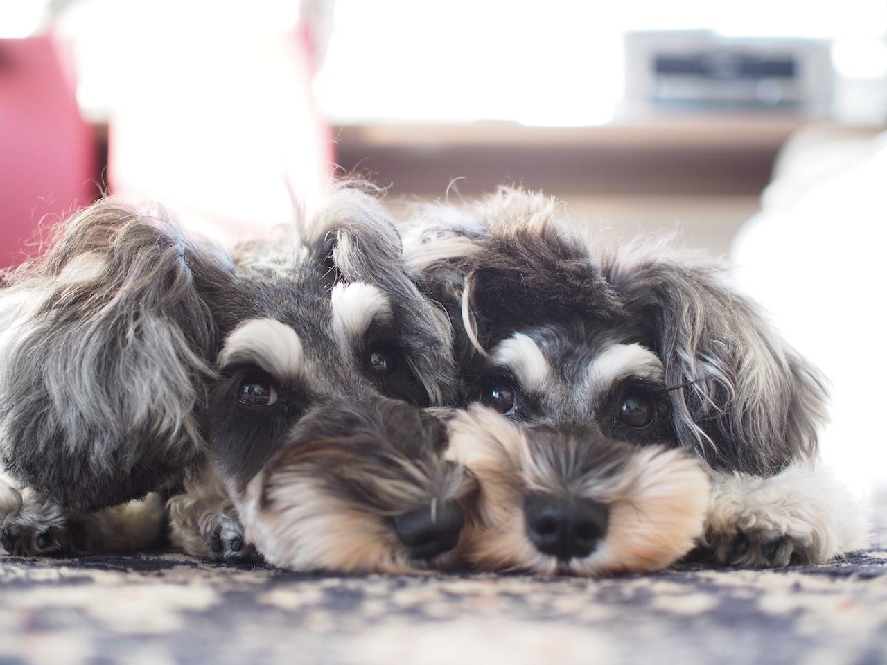 髭犬祭 マーブル イブ